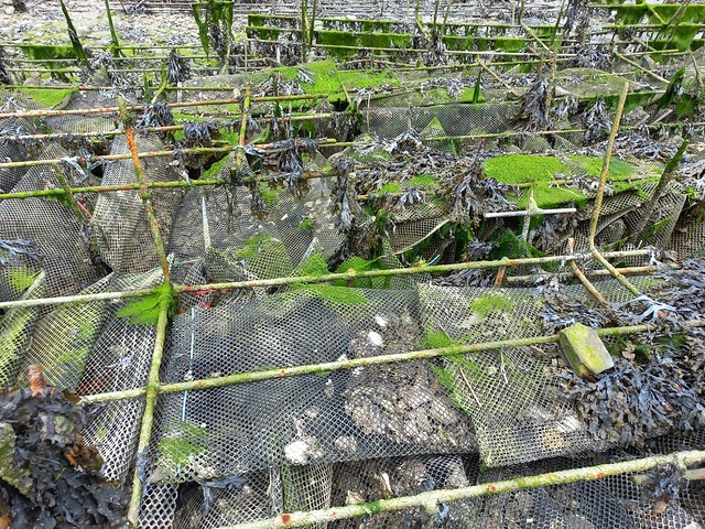 Oyster beds in Cancale, the oyster capital in Brittany, France
