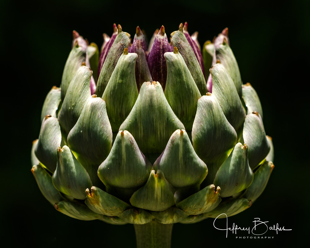 Artichoike Blossom-748568