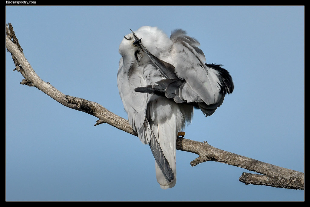 Black-shouldered KIte: Zipping up the Primaries