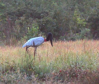 jabiru at karanambu Guyana 2007 575