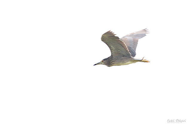 Black-crowned night heron, kvakoš noční, CZE, 2021