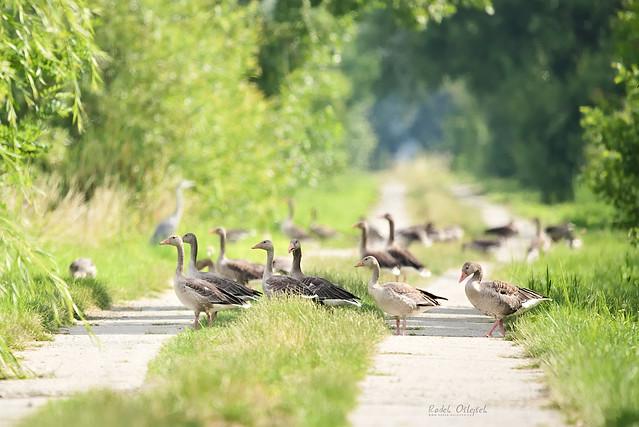 Greylag goose, husa velká, CZE, 2021