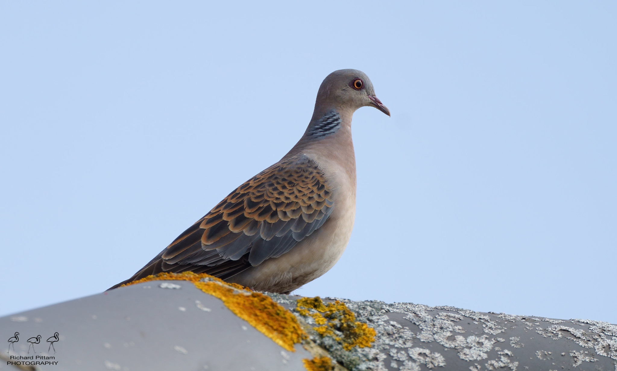 Oriental (Rufous) Turtle Dove ssp. meena - must admit I'm still not sure of differences -vs- Eurasian turtle Dove tbh.