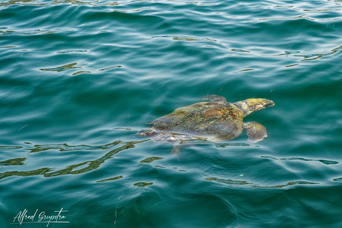 Meeting With The Caretta Turtle