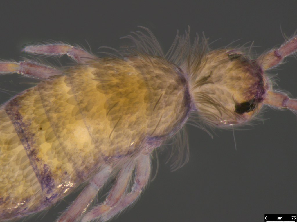 7a - Entomobryidae sp.