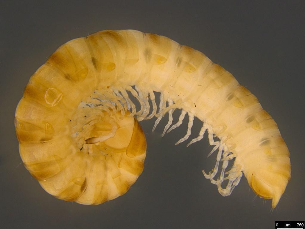 8a - Strongylosomatidea   sp.