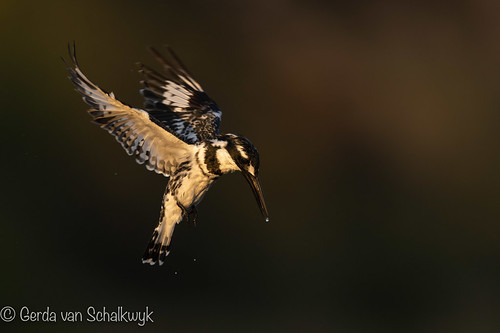 A pied fisher