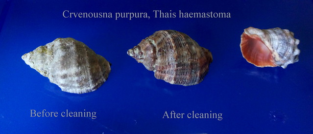 Crvenousna purpura, Thais haemastoma