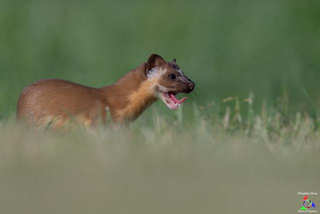 Weasel Yawning !
