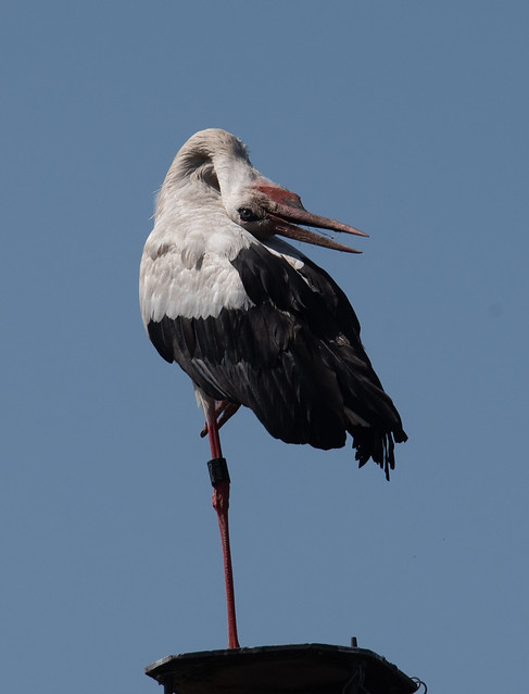 Young White Stork - Junger Weiss-Storch