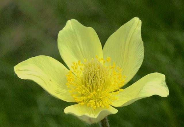 Alpine Pasqueflower, Alpine Anemone - Anemone sulfureo (Pulsatilla alpina ssp. apiifolia)