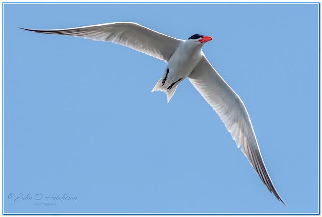 Caspian-Tern