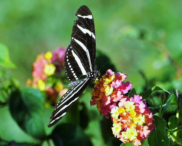 Zebra Longwing With A Torn Wing (Heliconius charithonia)