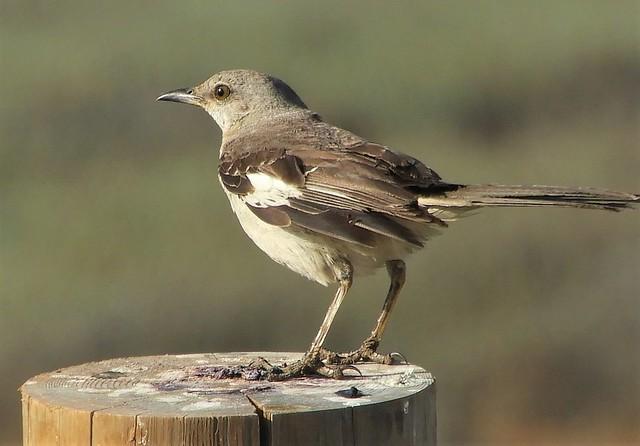 Mockingbird at the Baylands