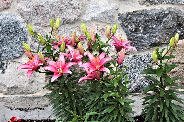 Pink Stargazer Oriental Lily (Lilium orientalis)