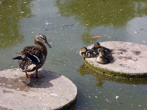 Delightful Ducklings