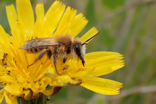 Dasypoda hirtipes - Pantaloon Bee
