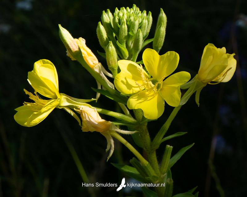 Teunisbloem (Oenothera)-850_4029