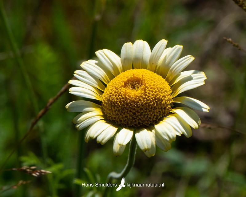 gekroonde ganzenbloem (Glebionis coronaria)-850_4050