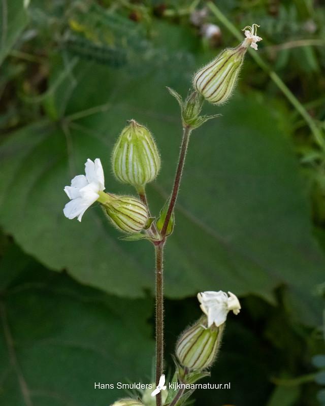 avondkoekoeksbloem (Silene latifolia subsp. alba)-850_4061