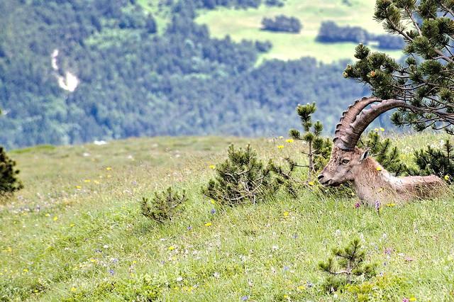 Ibex life (2)