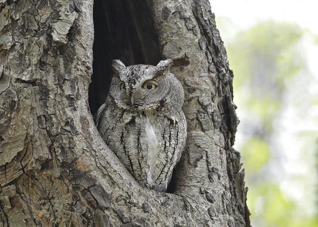 Petit-duc maculé _ Eastern Screech-Owl