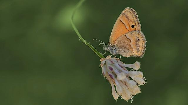 Coenonympha saadi
