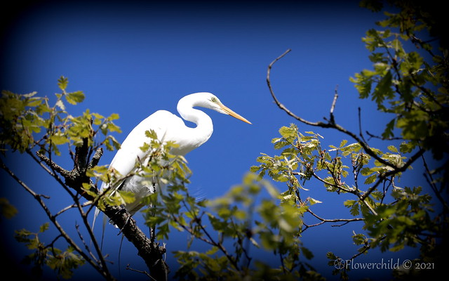 Egret - Bayard Cutting Arboretum