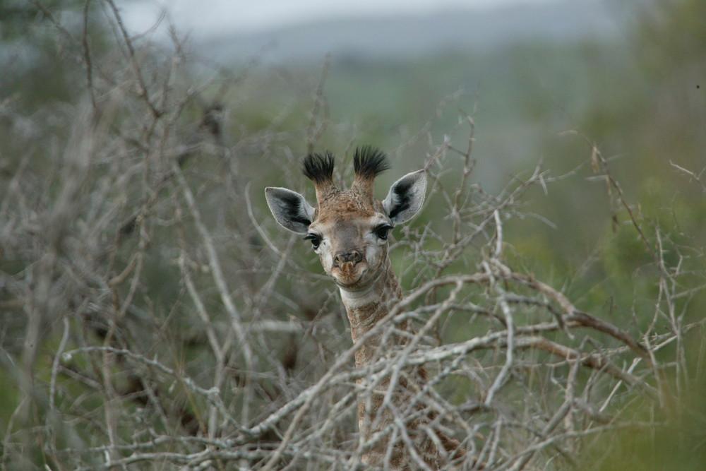 呼籲三立旗下頑皮世界退回長頸鹿引進申請記者會。在史瓦帝尼Big Game Parks的幼年長頸鹿,隨時可能被出售,經過長途運輸進到人工圈養場所。圖片來源:Big Game Parks官網