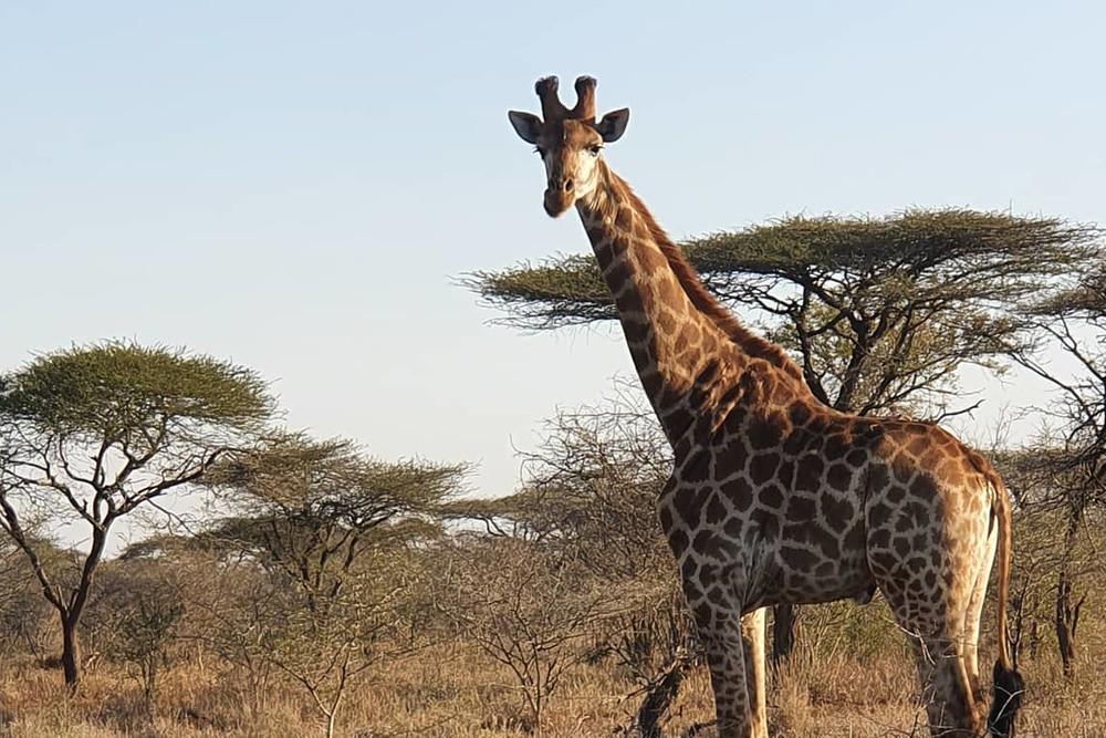 呼籲三立旗下頑皮世界退回長頸鹿引進申請記者會。史瓦帝尼Big Game Parks的長頸鹿據了解多為南非長頸鹿,且可能有近親交配、基因窄化疑慮。圖片來源:Big Game Parks官網