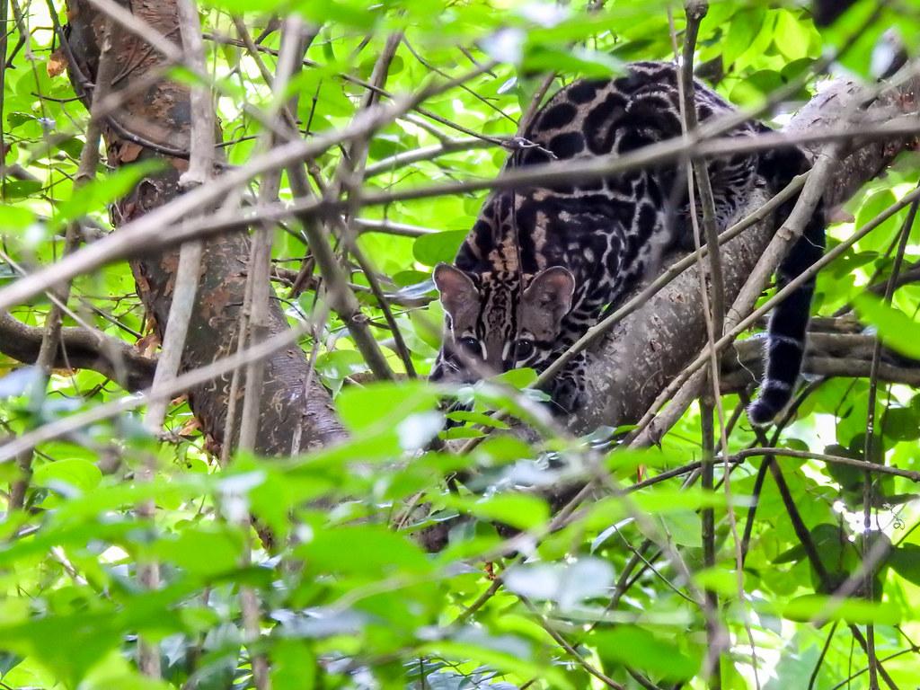 The ocelot (Leopardus pardalis)