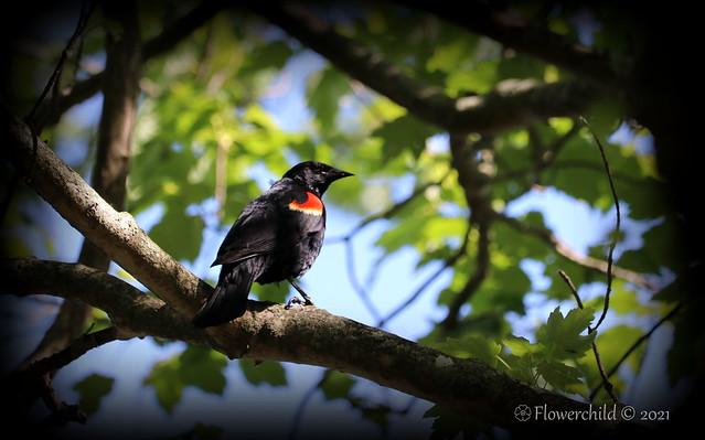 Red Winged Blackbird - Bayard Cutting Arboretum