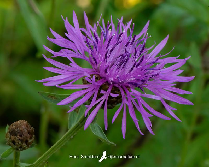 Knoopkruid (Centaurea jacea)-850_3966