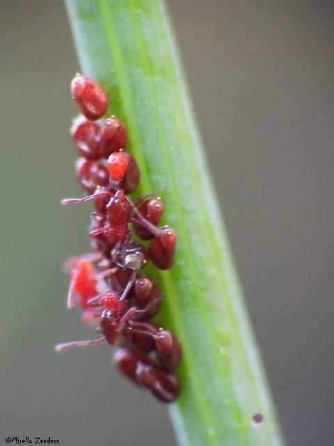 Liorhyssus hyalinus (Rhopalidae)