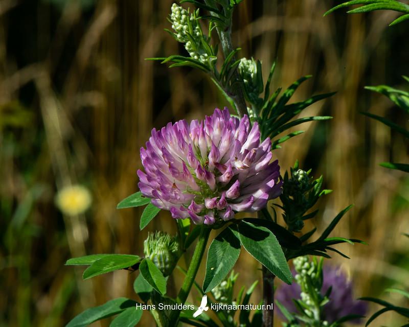 rode klaver (Trifolium pratense)-850_3967