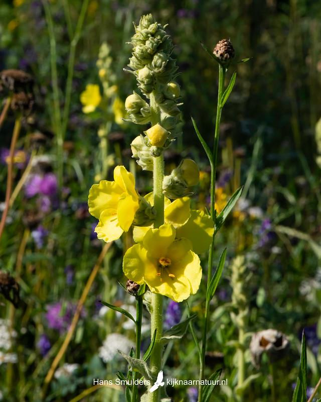 Koningskaars (Verbascum thapsus)-850_3981