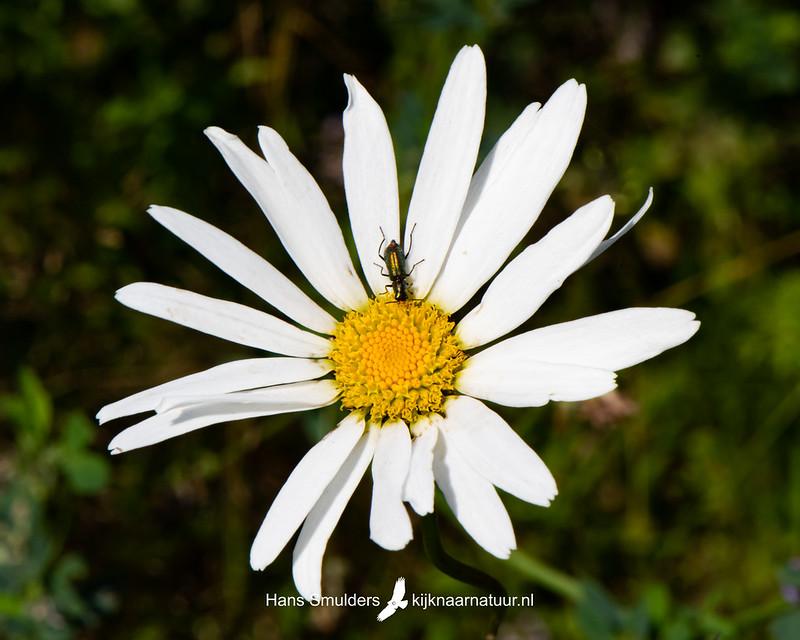 Gewone margriet (Leucanthemum vulgare)-850_4093