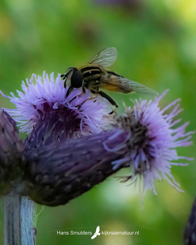 citroenpendel(zweef)vlieg (Helophilus trivittatus)-850_4033