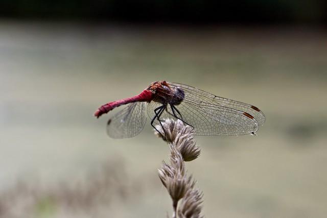 Dragonfly in Wilanów