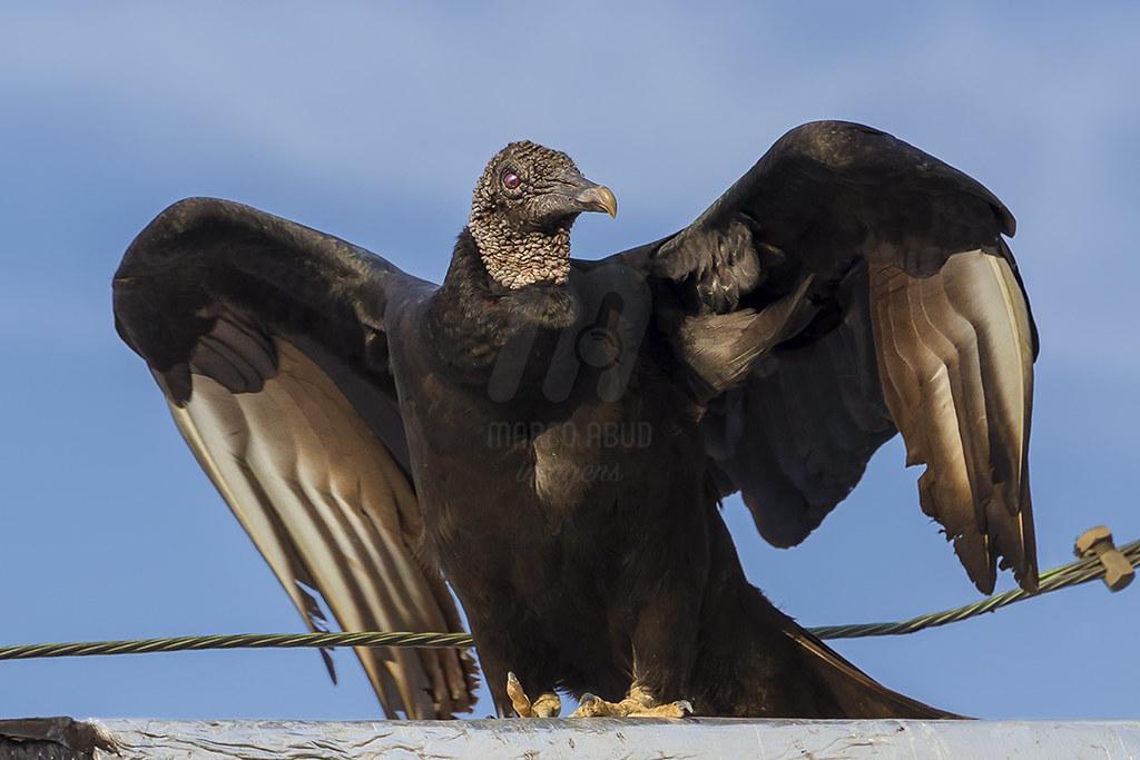 Urubu de Cabeça Preta | Black Vulture | Coragyps atratus