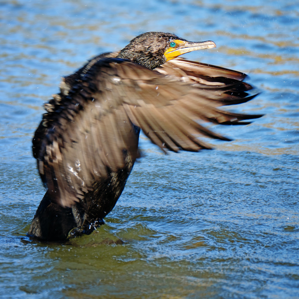 Flapping: Double-crested Cormorant