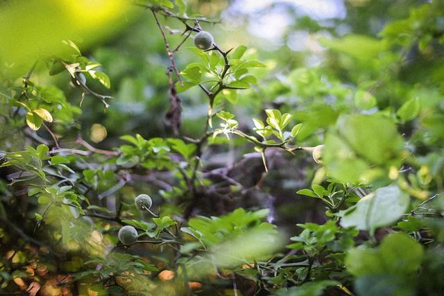citrus trifoliata #3