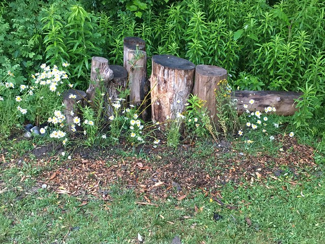 Tree stumps and Daisies near Duffins Marsh in Squires beach , Martin's photographs , Ajax , Ontario , Canada , July 2. 2021