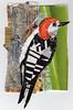 Red Bellied woodpecker204