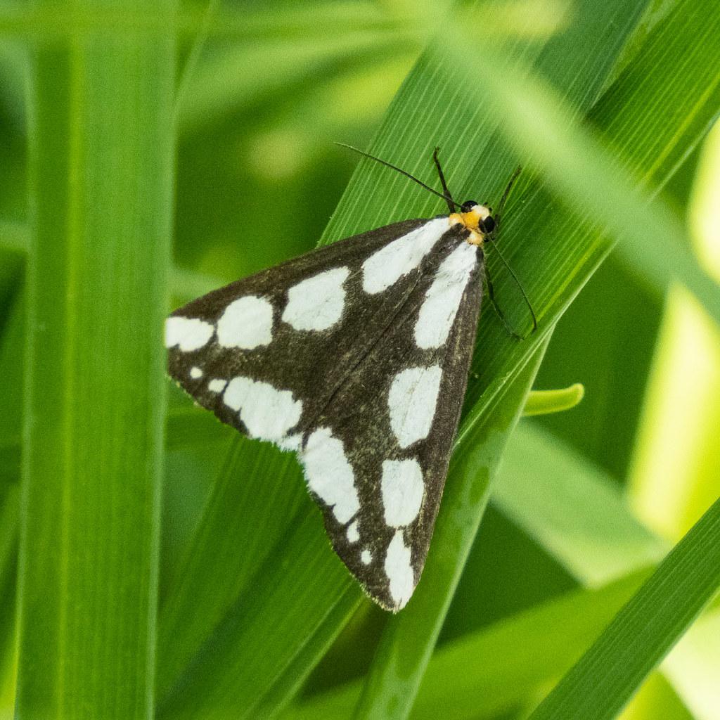 Leconte's Haploa Moth ?