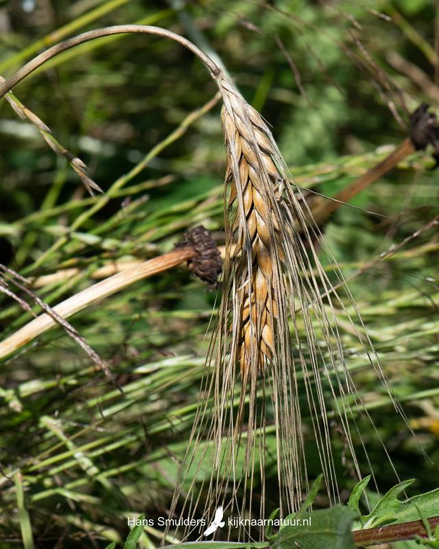 Gerst (Hordeum vulgare)-850_4007