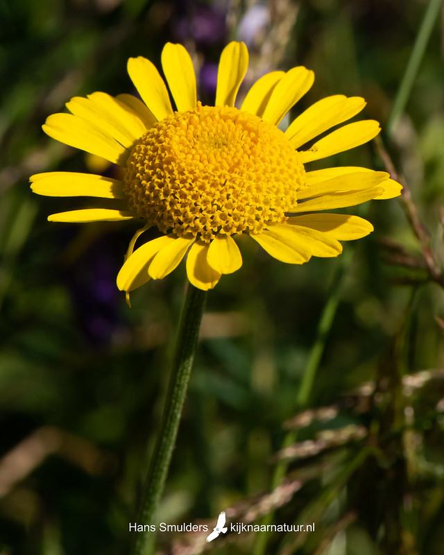 Gele ganzenbloem (Glebionis segetum)-850_3997