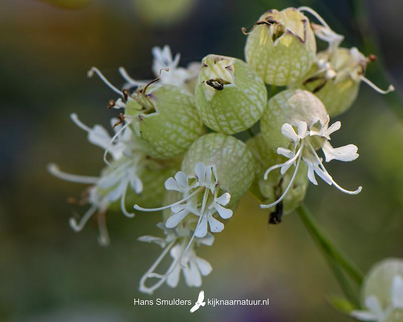 Blaassilene (Silene vulgaris)-850_4016