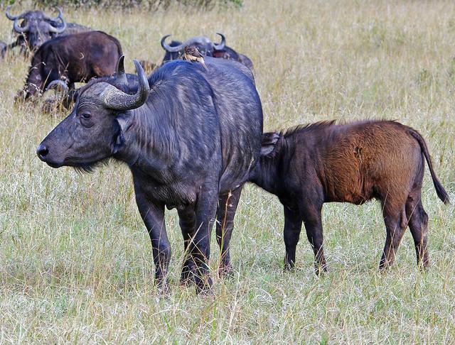 Cape Buffalo Cow And Calf (Syncerus caffer)