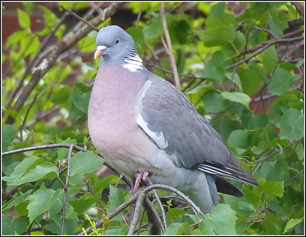 Wood Pigeon ..